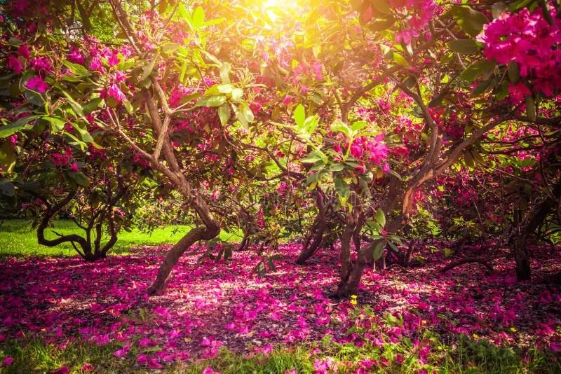 Desktop Wallpaper Fall Leaves Magnolia Trees And Flowers In Park Sun Shining Romantic