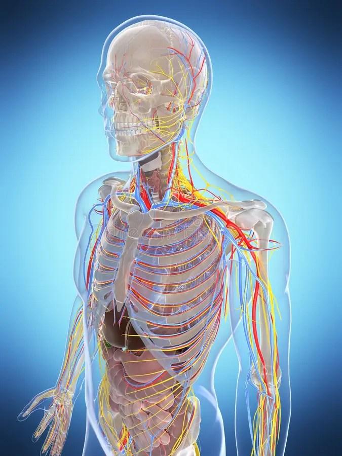 Highlighted Digestive System Stock Illustration ...