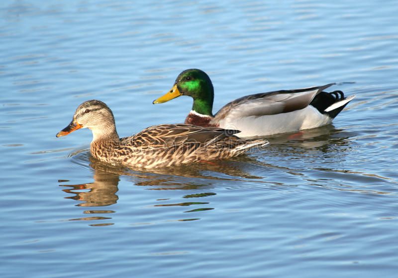 Cute Ducks In Water Wallpaper Mallard Duck Couple In The Water Stock Image Image Of