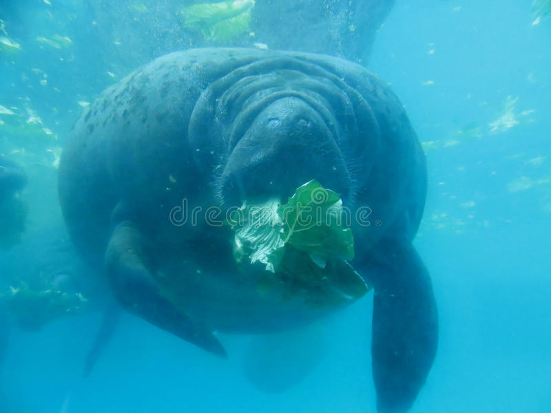 Manatee What Do They Eat