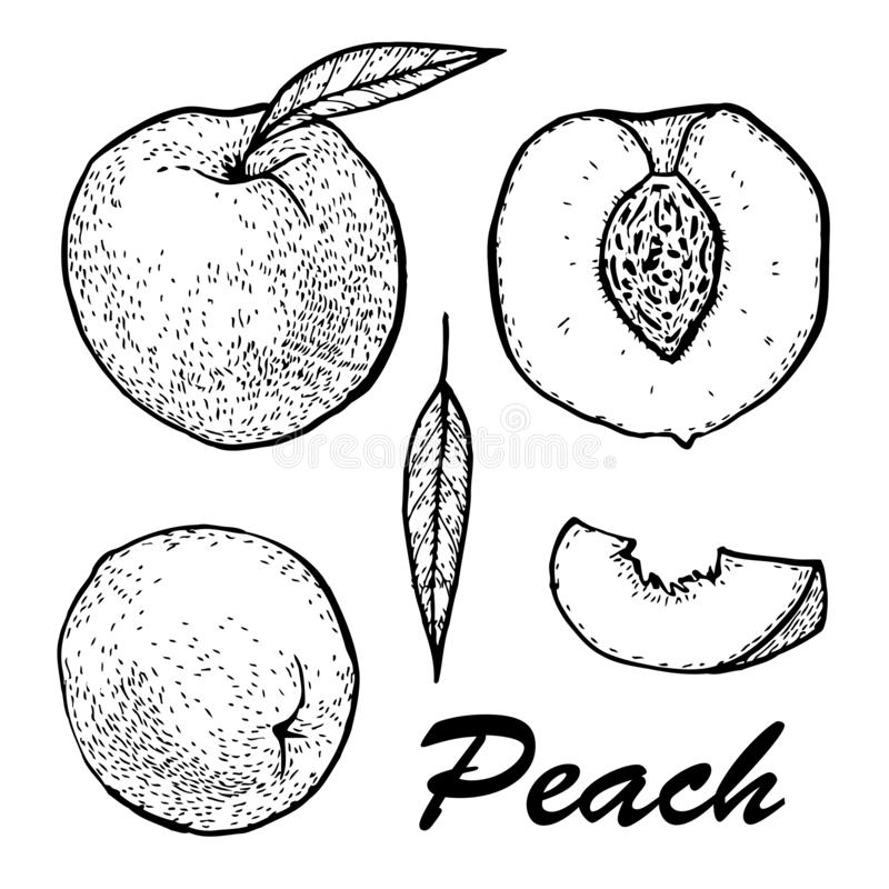 Peach Fruit Graphic Branch Black White Isolated Sketch