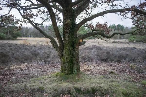 oak stock of