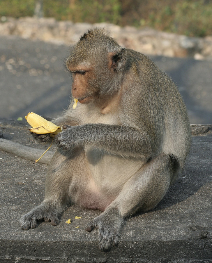 monkey eating banana royalty free stock photo