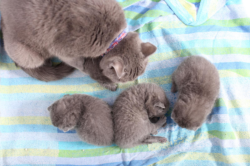Mother Cat Taking Care Of Her Babies Stock Photo - Image ...