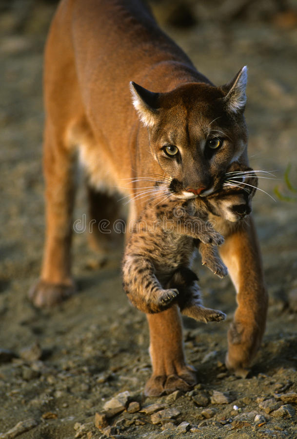 Cute Cubs Wallpaper Mountain Lion Carrying Kitten Stock Photo Image 9694662