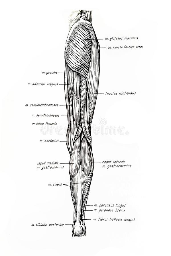 Human Limb Muscles stock vector. Illustration of longus