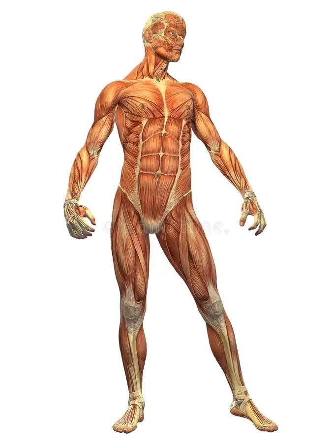 Muscolo Del Corpo Umano  Parte Anteriore Del Maschio