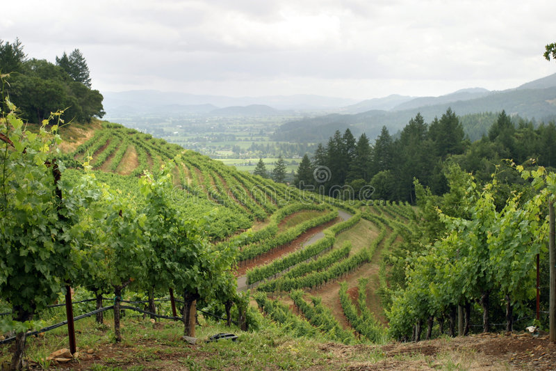 Napa Valley Vineyard Stock Photo Image Of Vineyards