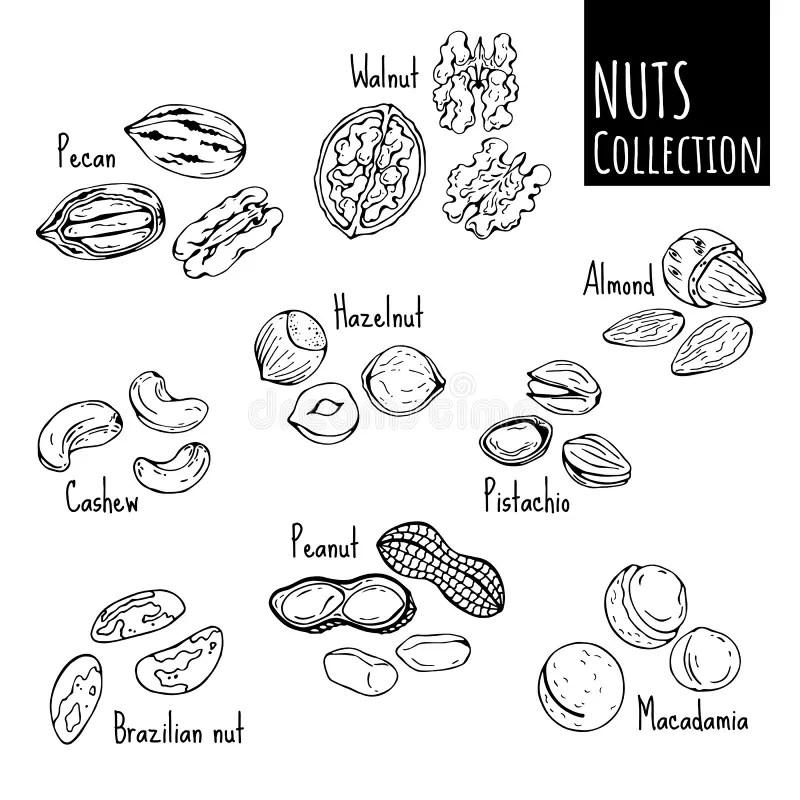 Nuts stock vector. Illustration of health, wood, tasty