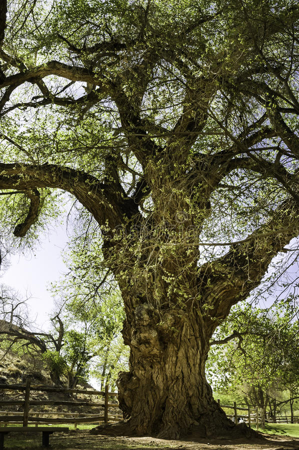 Old gnarled tree stock image. Image of gnarly. knotty - 45843809