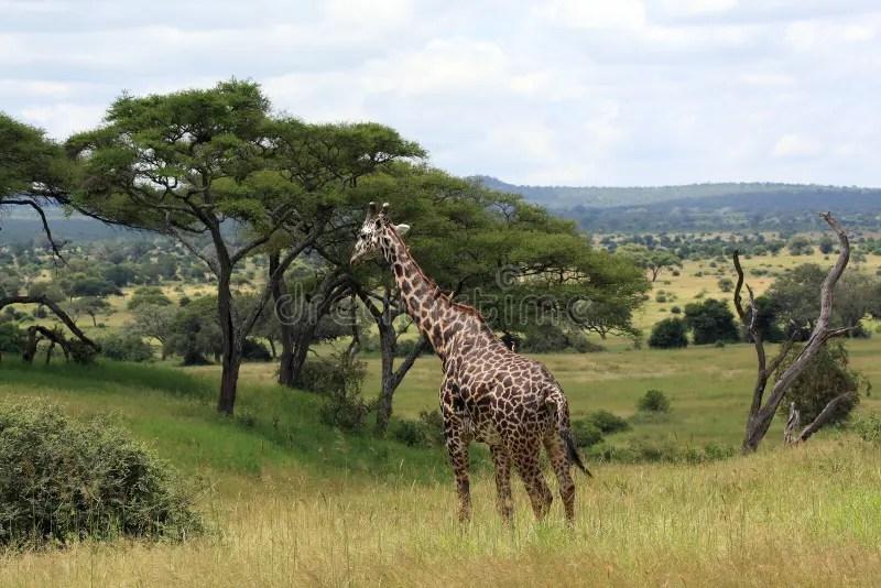Paesaggio Africano Con La Giraffa Immagine Stock  Immagine di esterno animale 5086061