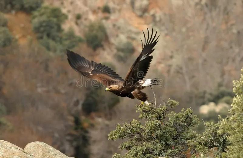 Paesaggio Con La Volata Delle Aquile Reali Fotografia Stock  Immagine 28587878