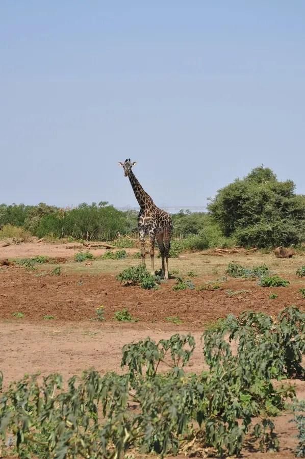 Paesaggio Di Savana Con La Giraffa Immagine Stock  Immagine di asciutto pianta 20296495