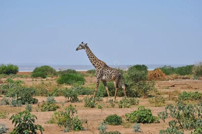 Paesaggio Di Savana Con La Giraffa Fotografia Stock  Immagine di grande verde 20296506