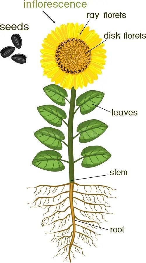 Sunflower Diagram : sunflower, diagram, Parts, Sunflower, Plant., Morphology, Flowering, Plant, System,, Flower,, Seeds, Titles, Stock, Vector, Illustration, Anatomy,, Flower:, 120196418