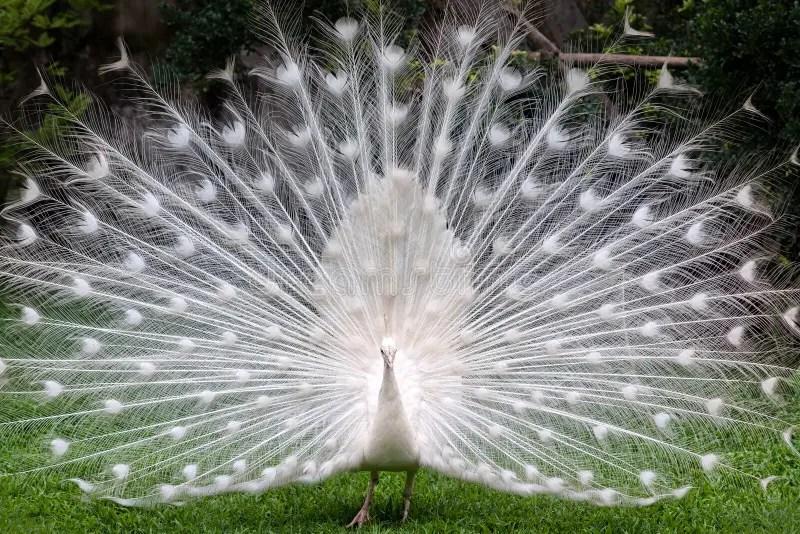Pavone bianco fotografia stock Immagine di animale