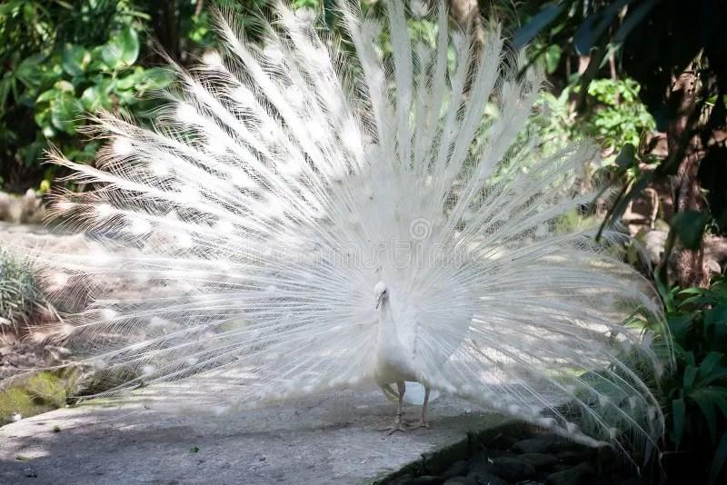 Pavone bianco dellalbino immagine stock Immagine di