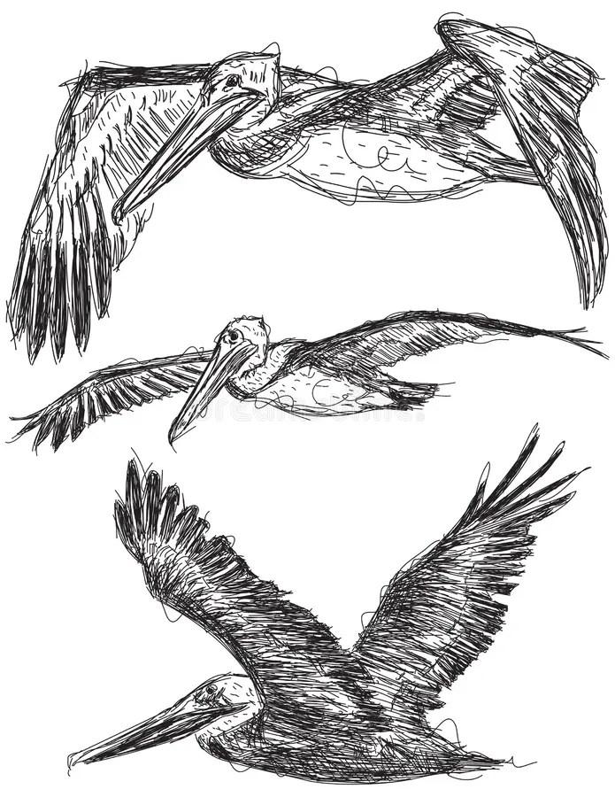 Pelican Flight Stock Illustrations