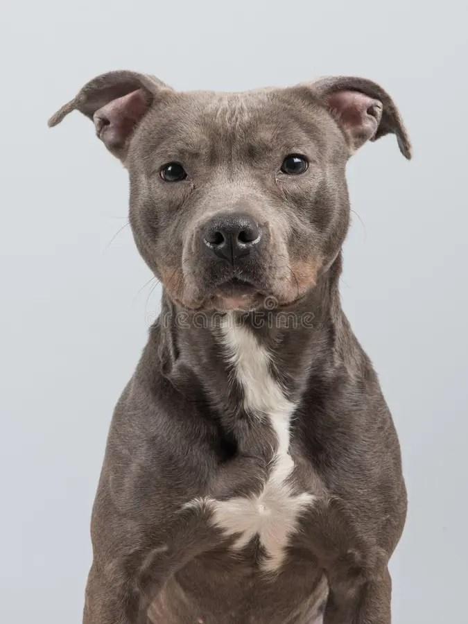 Cute Cute Babies Hd Wallpapers Pitbull Dog Portrait Stock Photo Image Of Mammal Grey