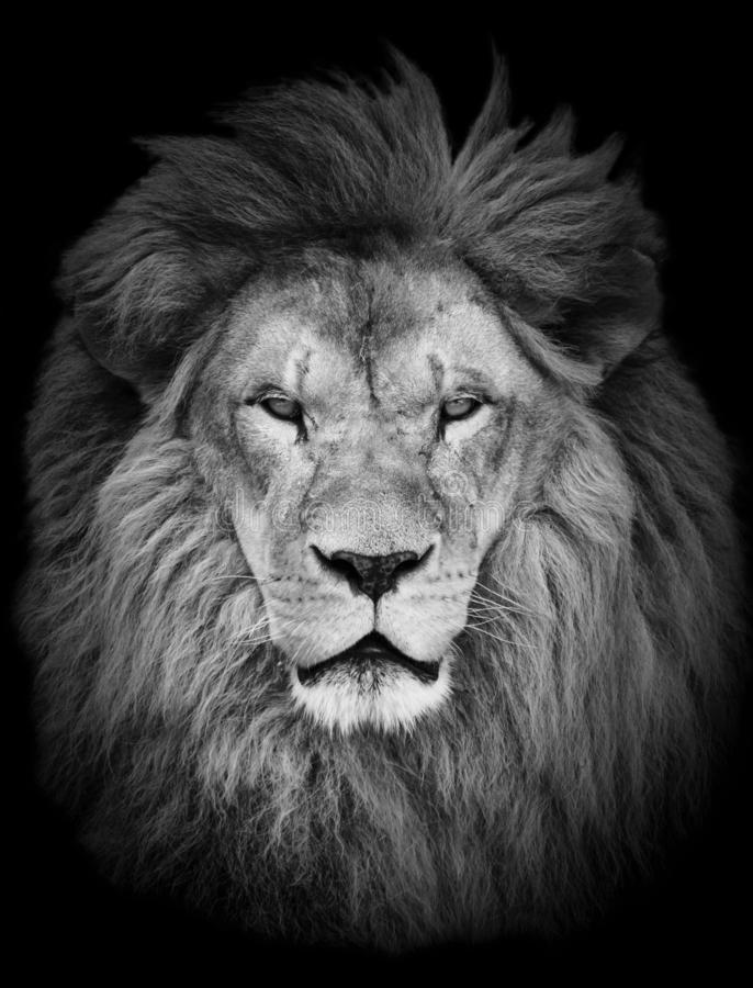 lion black background stock