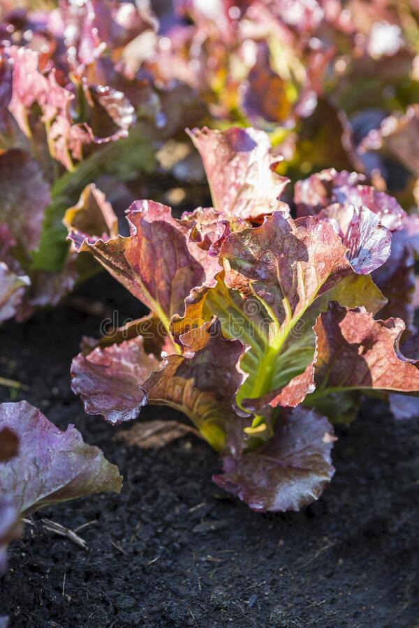 Red Leaf Lettuce Growing In Organic Farm Young Lettuce ...