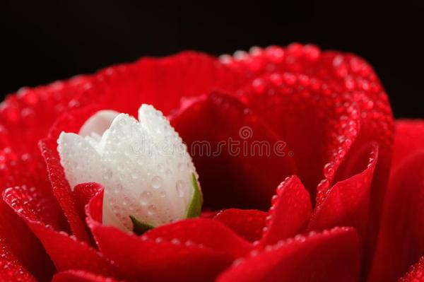Red Rose And White Jasmine Flower With Dew Drops CloseUp