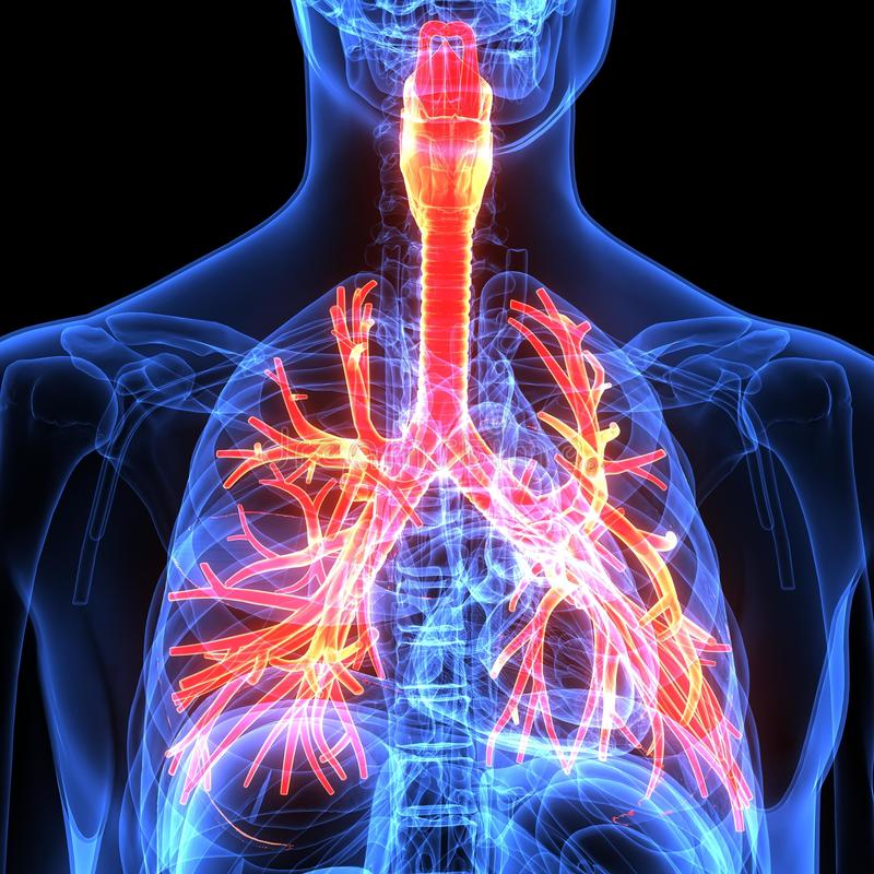 Male Anatomy Of Human Respiratory System In X-ray. 3d ...