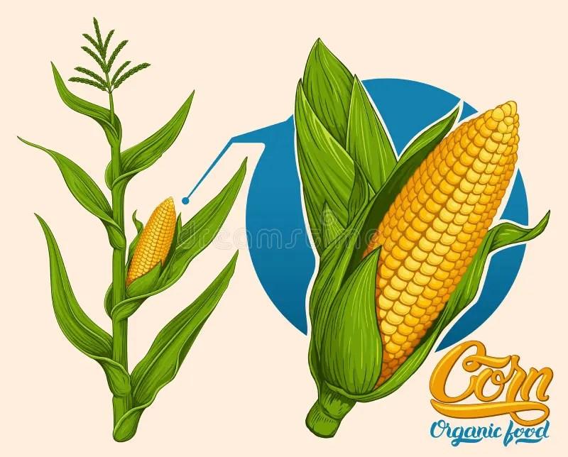 corn stock illustrations 56