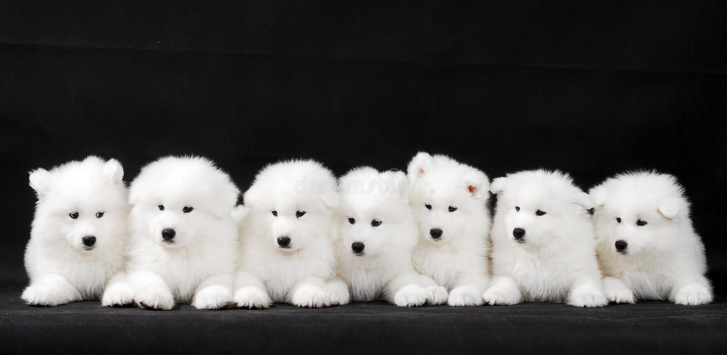 Samoyed Puppy Stock Image Image Of Cute Beast Breed