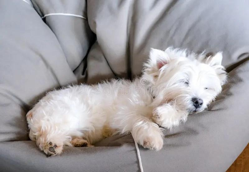 Senior West Highland White Terrier Westie Dog Sleeping In