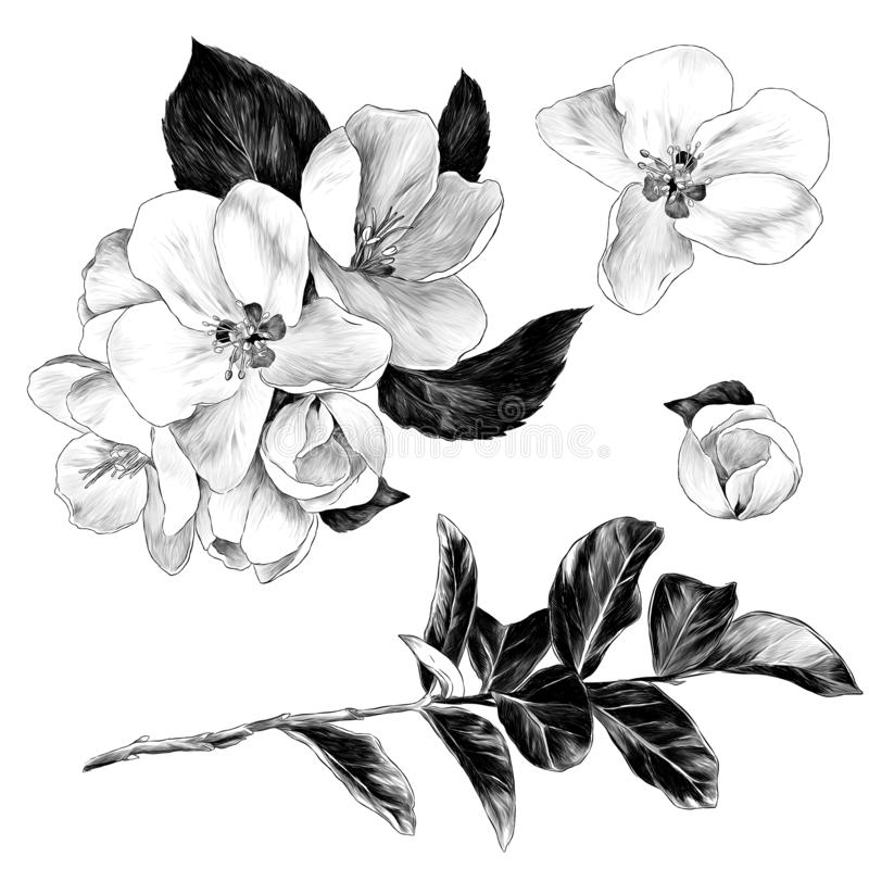 A Set Of Graphics Apple Blossom Branch Stock Illustration