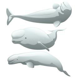 beluga background illustration cartoon isolated whale cute drawing exotic arctic