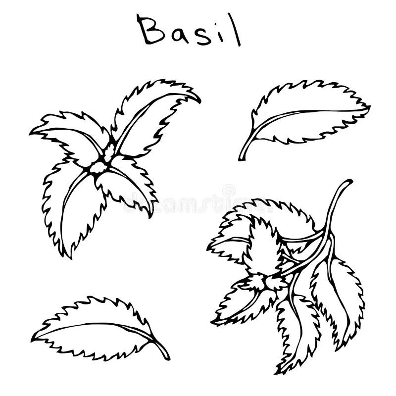 Drawn Hand Basil