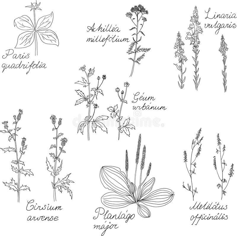 Set Of Line Drawing Herbs With Latin Names Royalty Free