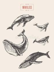 Whales Sketch Stock Illustrations 424 Whales Sketch Stock Illustrations Vectors & Clipart Dreamstime