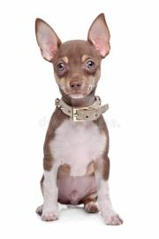 short haired chihuahua puppy stock