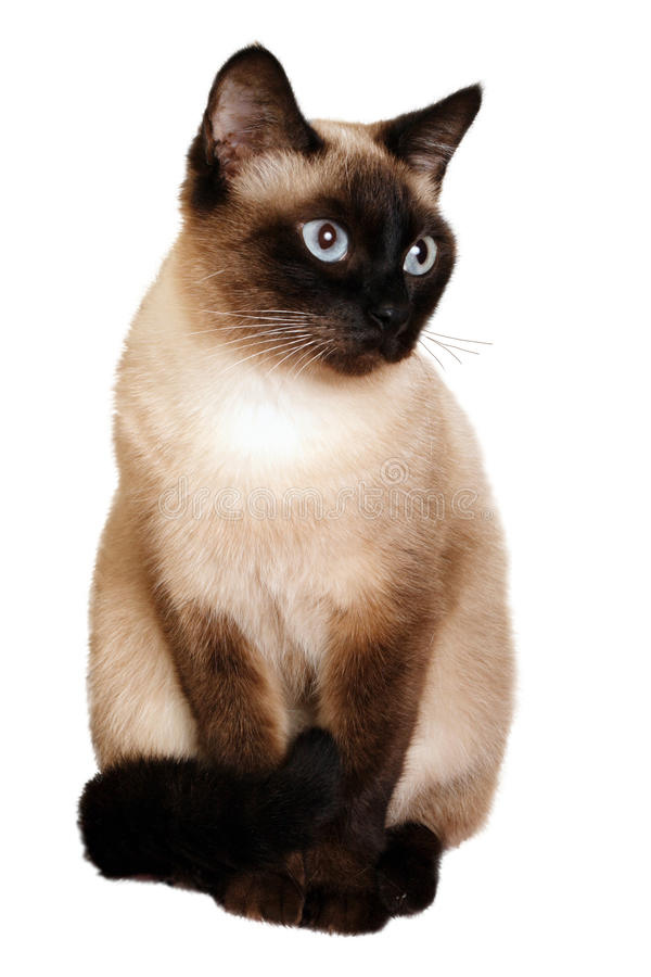 A Siamese Cat On A White Background Stock Image  Image