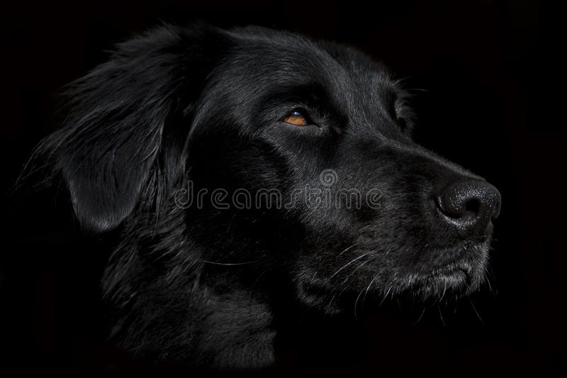 Desktop Wallpaper Of Cute Puppies Cute Black Dog Face Wallpaper On A Dark Background Stock