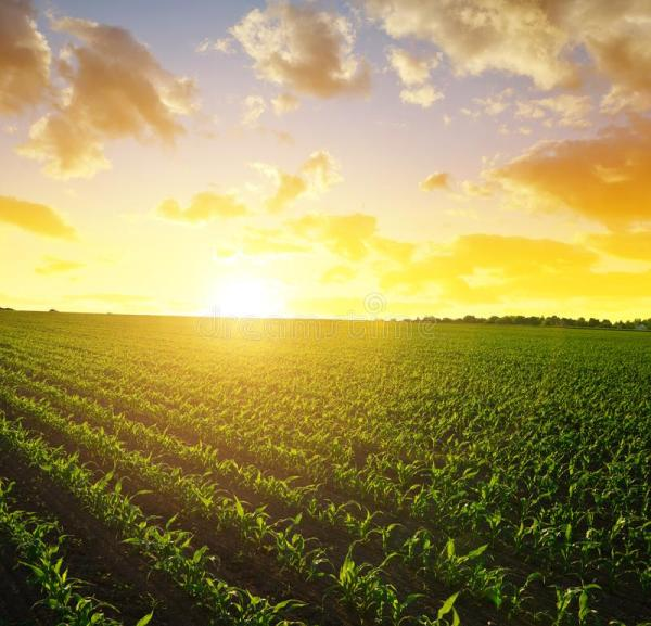 corn field stock of