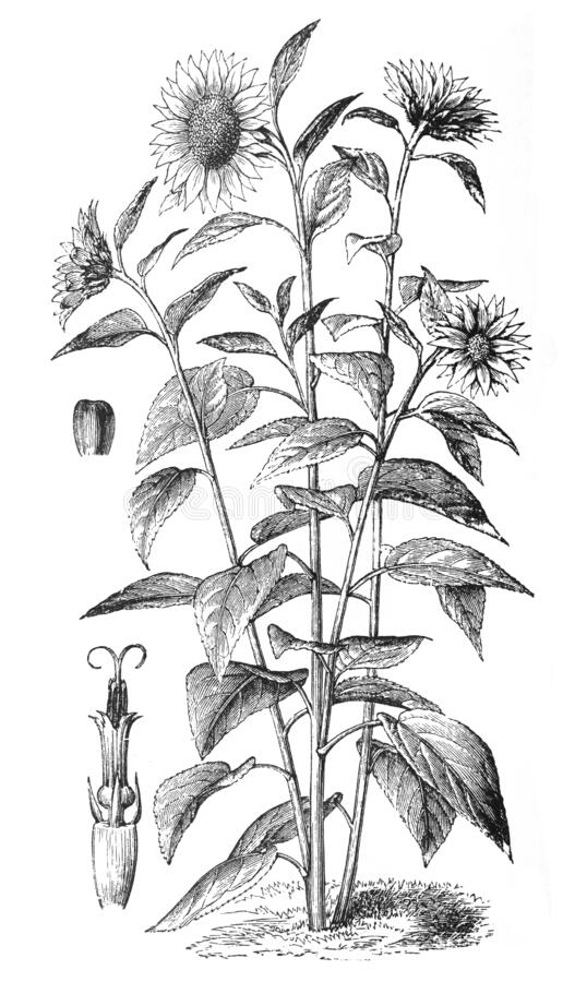 Helianthus Annuus Stock Illustrations