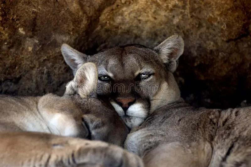 Tier Puma Puma Concolor Stayleyanan Stockfoto Bild Von Wildnis Pussy 718322