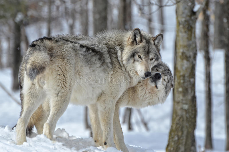 Timber Wolves Kissing Stock Photo Image Of Covered Grey