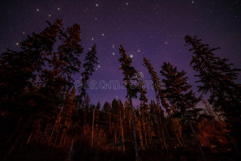 Free Fall Forest Wallpaper Tops Of Evergreen Trees At Night With Stars Stock Photo