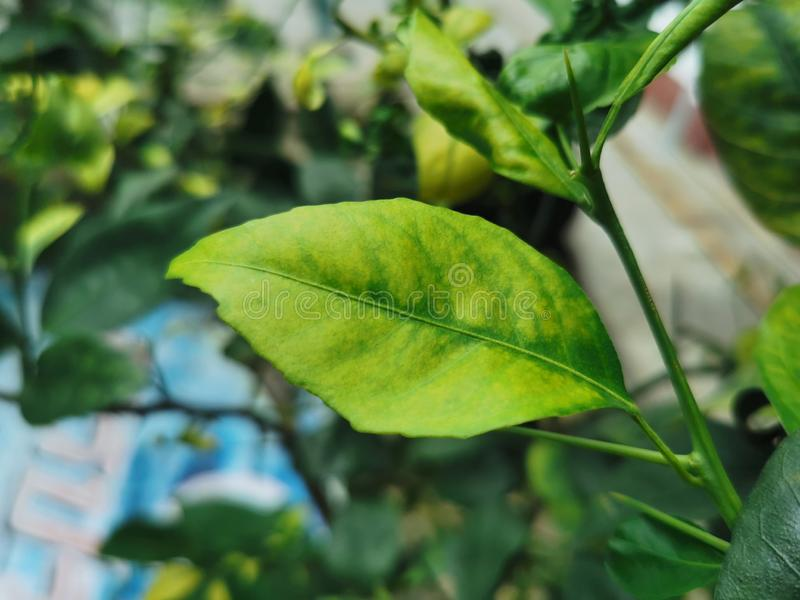 Trace Element Deficiency On Lime Leaves Stock Photo ...