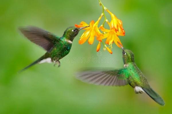 two flying hummingbird bird