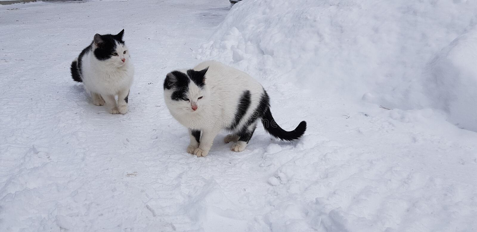 Black Black Mix Collie Border Cat Together And White And