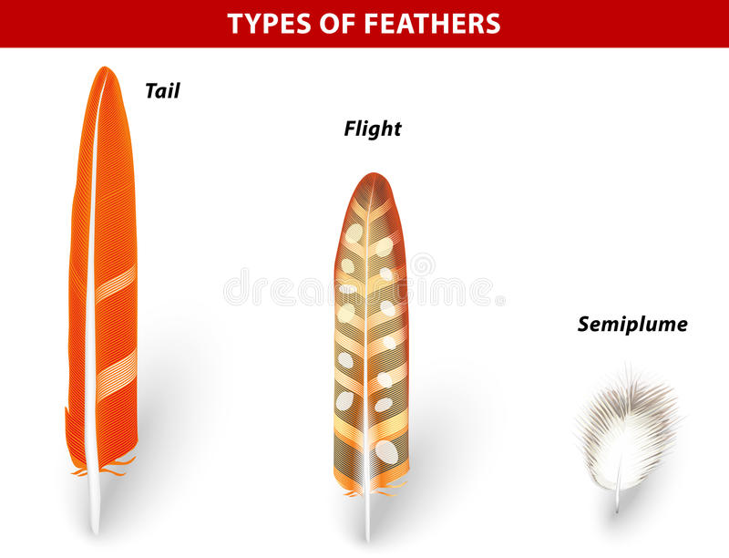 diagram types of feathers s15 sr20det wiring for bird stock vector. image animal - 30607346