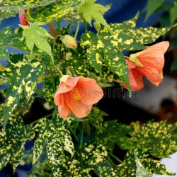 Variegated Flowering Maple Abutilon Gardening Flower And Vegetables