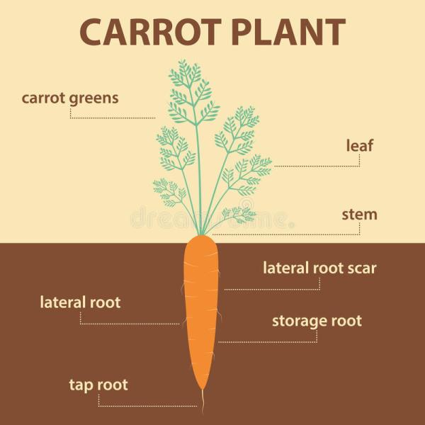 Vector Diagram Showing Parts Of Carrot Plant Stock