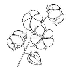 Vector Stem With Outline Cotton Boll With Leaf And Capsule In Black Isolated On White Background Ornate Agriculture Cotton Stock Vector Illustration of herb contour: 114362044